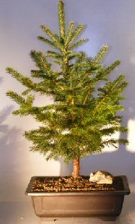 Colorado Blue Spruce Bonsai Tree  (picea pungens glauca)