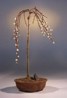 Flowering Weeping Pussy Willow Bonsai Tree (salix caprea 'kilmarnock')