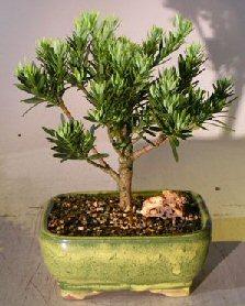 Flowering Podocarpus Bonsai Tree - Dwarf Pringles<br>Upright Style - Large<br><i>(podocarpus macrophyllus)</i>