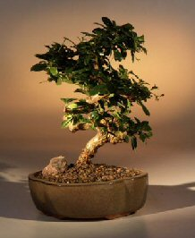 Image: Flowering Fukien Tea Bonsai Tree - Curved Trunk (Medium) (ehretia microphylla)