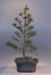 Japanese Larch Bonsai Tree (larix leptolepsis)