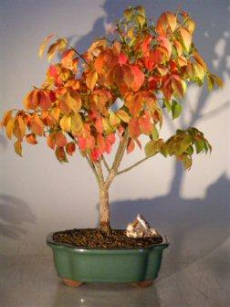 Burning Bush<br><i>(euonymous