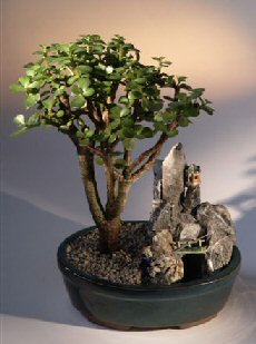 Baby Jade Bonsai Tree<br>Stone Landscape Scene<br><i>(portulacaria afra)</i>