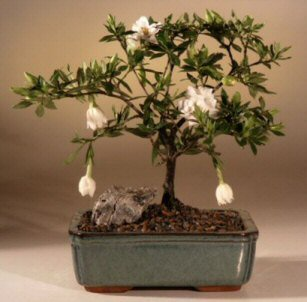 Flowering Gardenia Bonsai Tree  (gardenia jasminoides)
