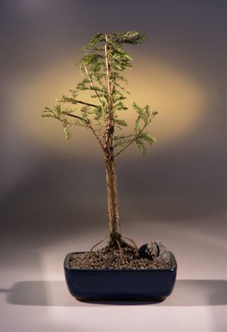 Bald Cypress Bonsai Tree (taxodium distichum)