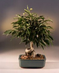 Oriental Ficus Bonsai Tree (Coiled Trunk) - Large (benjamina 'orientalis')