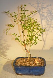 Flowering Winter Jasmine Bonsai Tree (jasminum nudiflorum)