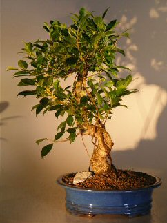 Ficus Retusa Golden Coin Bonsai Tree (Curved Trunk) - Large (ficus retusa)