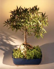 Willow Leaf Ficus Bonsai Tree - Root over Rock (nerifolia/salicafolia)