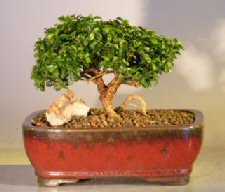 Starter Kit - Japanese Kingsville Boxwood<br>Make Your Own Bonsai Tree
