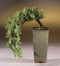 Juniper  - Cascade Style