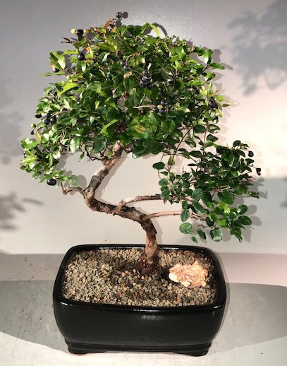 Sweet Plum Curved Trunk Bonsai Tree Large <br><i>(sageretia theezans)</i>