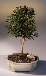 Flowering Brush Cherry Bonsai Tree - Medium (Eugenia Myrtifolia)