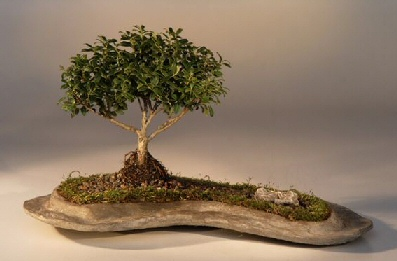 Japanese Kingsville Boxwood Planted on a Rock Slab