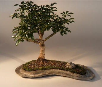 Hawaiian Umbrella Bonsai Tree on a Rock Slab (arboricola schefflera)
