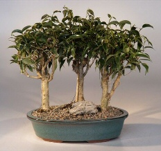 Oriental Ficus Bonsai - 3 Tree Group<br><i>(ficus benjamina 'orientalis')</i>