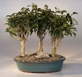 Oriental Ficus Bonsai Tree Group<br><i>(ficus benjamina 'orientalis')</i>