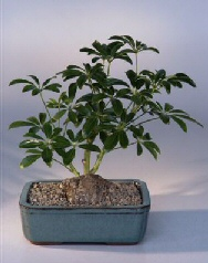 Hawaiian Umbrella Bonsai Tree - Lava Rock In Bonsai Pot (arboricola schefflera luseanne)