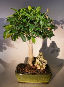 Ficus Root Over Rock Bonsai Tree (ficus orientalis)