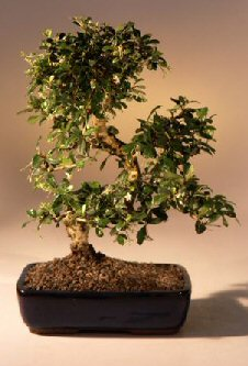 Fukien Tea Flowering Bonsai Tree - Extra Large<br>Curved Trunk Style<br><i>(ehretia microphylla)</i>