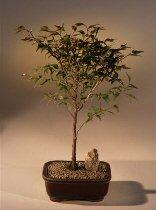Flowering Apricot (prunus mume)