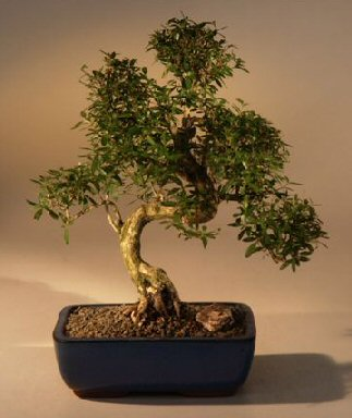 Chinese Flowering White Serissa Bonsai Tree of a Thousand Stars  Curved Trunk Style  Extra Large (serissa japonica)