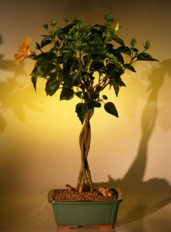 Flowering Mango Mist Tropical Hibiscus - Braided Trunk Style<br><i>(rosa sinensis)</i>