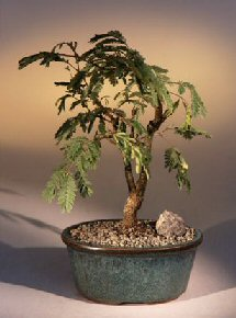 Flowering Mimosa Bonsai Tree - Large<br><i>(leucaena glauca)</i>
