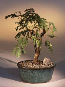 Flowering Mimosa Bonsai Tree Leucaena Glauca