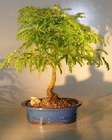 Image: Flowering Tamarind Bonsai Tree (tamarindus indica)
