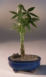 Braided Money Bonsai Tree - 'Good Luck Tree'<br><i>(pachira aquatica)</i>
