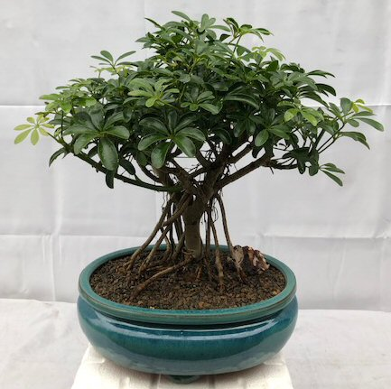 Hawaiian Umbrella Bonsai Tree - Large<br>Exposed Roots<br><i>(arboricola schefflera