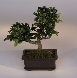 Image: Artificial Japanese Boxwood  Bonsai Tree