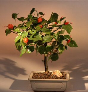 Flowering dwarf hibiscus medium malvaviscus alboretus for 1800 flowers bonsai