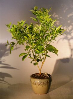 Blood Orange Bonsai Tree<br><i>('citrus sinensis')</i>