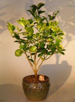 Image: Key Lime Bonsai Tree (citrus aurantifolia)