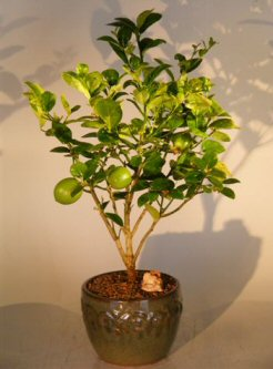 Key Lime Bonsai Tree Citrus Aurantifolia