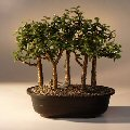 Baby Jade Bonsai Tree Five Tree Forest Group<br><i>(Portulacaria Afra)</i>
