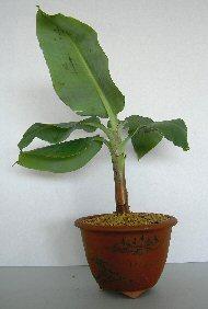 Dwarf Banana Bonsai Tree Musa Acuminata