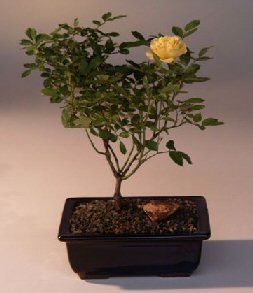 Image: Flowering Mini  Rose  Bonsai Tree Tiny Yellow