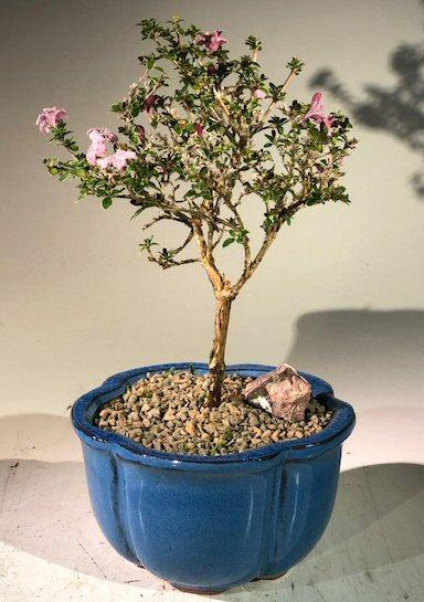 Flowering Pink Serissa Bonsai Tree Small Serissa Foetida