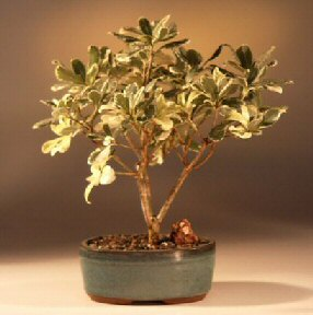 Image: Flowering Japanese Mock Orange Bonsai Tree - Variegated (pittosporum tobira variegata)