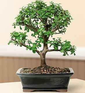 FREE SHIPPING ON THIS TREE Baby Jade Bonsai Tree - Large (Portulacaria Afra)