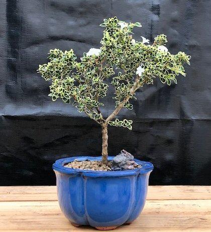 Flowering Serissa Bonsai Tree Small Serissa Foetida