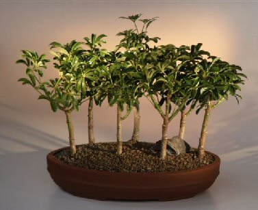 Hawaiian Umbrella Bonsai Tree - 7 Tree Forest Group (arboricola schefflera)