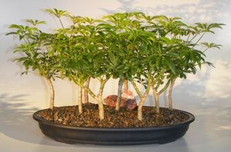 Hawaiian Umbrella Bonsai Tree - 9 Tree Forest Group (arboricola schefflera)