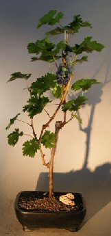 Grapevine Bonsai Tree<br><i>(cabernet sauvignon)</i>