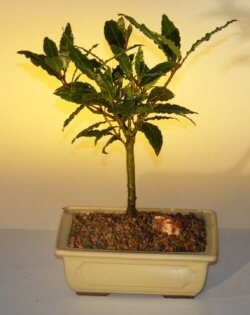 Bay Leaf Bonsai Tree - Medium (laurus nobilis)