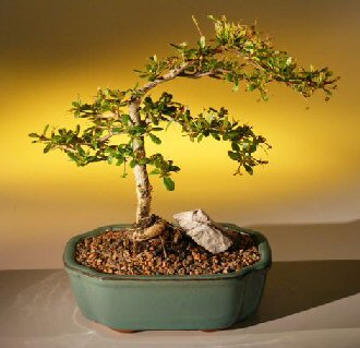 Dwarf Black Olive (bucida spinosa)
