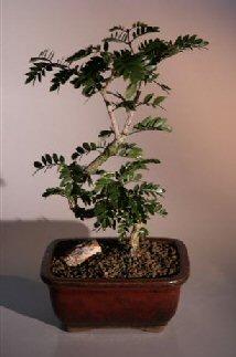 Flowering Ironwood Bonsai Tree Lignum Vitae